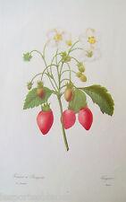 Gravure Fruits Fraisiers à bouquets ( Fragaria)  PJ Redouté  29 x40 cm