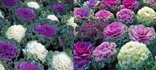 Cabbage Ornamental Mixed Colors, 25+seeds,Very Rare.