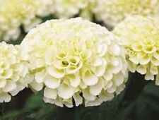 35+ AMERICAN MARIGOLD ESKIMO WHITE ANNUAL FLOWER SEEDS