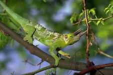 789026 Jackson Chameleon Hawaii A4 papier photo
