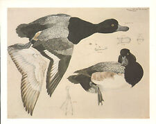 VINTAGE BIRD PRINT ~ SCAUP DUCK MALE ~ AYTHYA MARILA