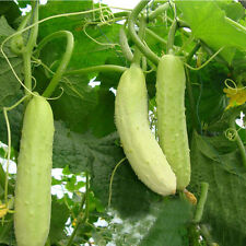 100pcs New White Jade Cucumber Seeds Cucumis Organic Vegetable Garden Plant Seed