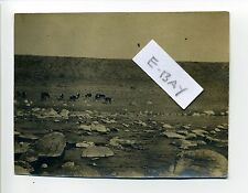 Antique Photo - Crab Creek Springs WA, The Ford, cattle, 1908