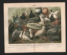 Chromo-Lithografie 1897: Haus-Tauben. Vögel Tiere Natur Römer-Luchs-Locken-Taube