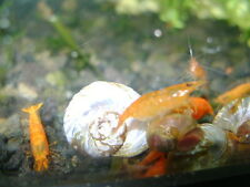 6 ORANGE SAKURA SHRIMPS WITH NAJAS GRASS OR HORNWORT FRESH WATER AQUARIUM