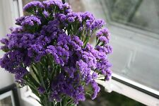 Statice Seeds - Purple (Limonium Sinuatum ) Great For Cut Flowers- 100 Seeds !