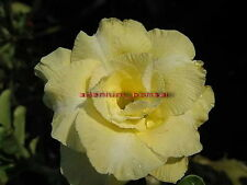 "NEW !!ADENIUM OBESUM DESERT ROSE ""GOLD SNOW"" 2 GRAFTED PLANTS RARE FRESH!!"