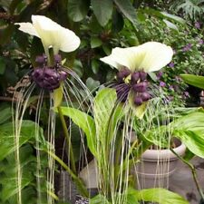 White Bat Plant Tacca integrifolia Live Plant Unique tropical flower specimen