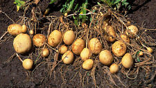 30 Seeds Rare Sweet Potato Seeds  Original Thailand Seeds.