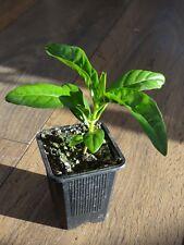 Noni , Indian mulberry ( Morinda citrifolia ) * 1 PLANT * NEW!