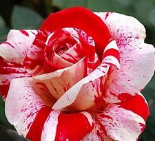 '35 Semi di Rose RARISSIME Rose-Dragon