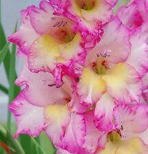 (5) Perennials Gladious Pink & White Priscilla New Flower Bulbs Ready to Ship