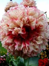 Peony Poppy Flemish Antique. 300 Seeds. Beautiful Flowers.