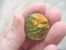(J481) Orange Green sunrise round Ammolite fossil shell loose cabochon nautilus