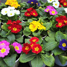 Common Primrose Seed 50 Seeds Primula Malacoides Franch. Flower Garden Seed A080