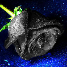 100PCS Mysterious Black Rose Flower Plant Seeds Unique Beautiful Black Rose