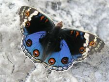 ONE REAL BUTTERFLY BLUE JAPANESE BUCKEYE JUNONIA ORITHYA MALE WINGS CLOSED