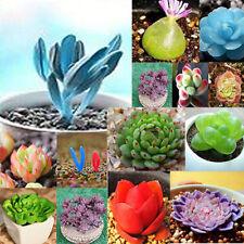 Semillas de Lithops mixtos 120pcs viven piedras suculentas Cactus maceta plantas
