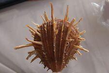 """Spondylus regius, 136.5 mm, F++, """"VERY LARGE"""""""