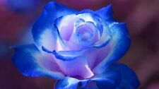 Flower seed - Blue and Pink Rose seed