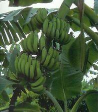 "Musa ""Gold Finger"" Banana plant fruit tree rare"