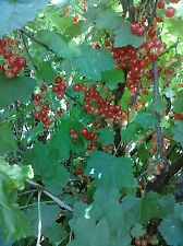 20 Red Currant Seeds TASTY BERRIES FOR JELLY
