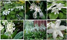 WHITE HOSTA FLOWER PERENNIAL 25 + SEEDS + UNLIMITED S/H FLAT RATE OF $1.99