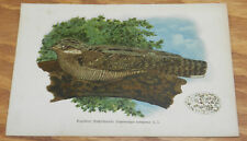 1895 Antique COLOR Bird Print/NIGHTJAR