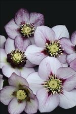 HELLEBORUS FRENCH KISS PLANT  2YEAR OLD PLANT NEW