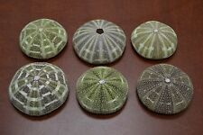 "6 PCS ALFONSO SEA URCHINS SEA SHELL BEACH WEDDING NAUTICAL 3"" - 4"" #7886B"