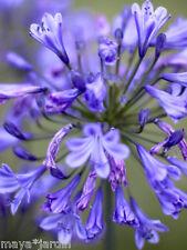 20 Graines Lys du Nil Fleurs Mélange Vivace (Agapanthus) African Lily Seeds