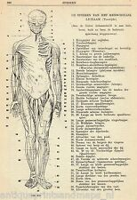Antique medical print human anatomy Muscles Muscle 1929 anatomie spieren spier
