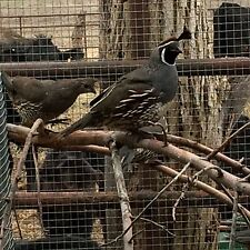 24++ Valley Quail Hatching Eggs *PRESALE*