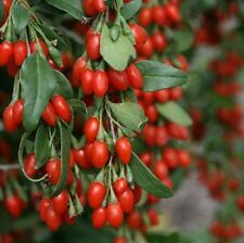 Bacche di Goji-Lycium chinense-Fruit of l'immortalità - 10 Semi