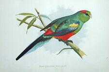 Molti COLORATO parrakeet AUSTRALIA ORIGINALE Greene Antico Parrot stampa 1884