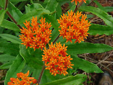 BUTTERFLY WEED FLOWER SEEDS - BULK  *****