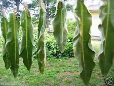 Organic Dried Cut Mullein Leaf 1oz 100% Fresh, potent,Chemical free No Additives