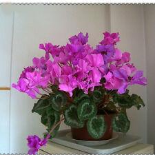 15x semillas Ciclamen purpura