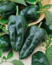 600 Seeds Ancho Grande Hot Pepper Seeds BULK SEEDS