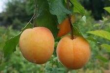 Dwarf Apricot tree - 'Aprigold'  ideal for small garden or patio