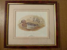 VINTAGE Bird ornitologico Print-gargagney da John Gould 1804-1881