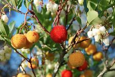 STRAWBERRY TREE (Arbutus unedo) 20 seeds