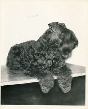 KERRY BLUE TERRIER - Photo c. 1950 Chien Grand Format - CH 11