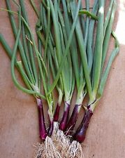 1g (appr. 160) red spring onion  seeds RED TOGA Salad, Bounching onion, Scallion