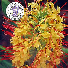 Rare Hedychium gardnerianum Kahili Ginger - 5 seeds - UK SELLER