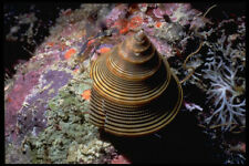 355010 Chocolate lined Top Shell Calliostoma Javanicum A4 Photo Texture Print