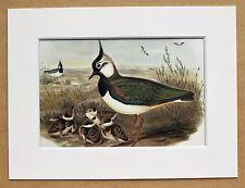 John Gould - 1970s Vintage Mounted Colour Bird Print - Lapwing (72)