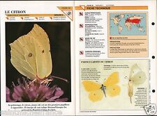 Citron papillon Gonepteryx Rhamni common Brimstone Butterfly Insect FICHE FRANCE