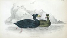SURF SCOTER,  SEA DUCK Jardine hand coloured antique bird print c1838