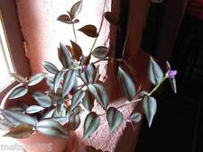Tradescantia zébrina,  5 tiges racines , plante d'appartement